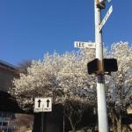 どや顔 を英語で。アメリカの桜は日本から送られたものとアメリカ人に言われ、自分が褒められた気がしてうれしい。